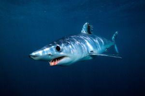 Мако црната акула