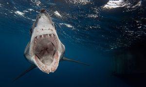 Ајкулите се опасни видови