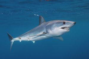 Репродукција на ајкули со црни гради