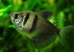Рибна торназија