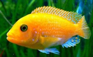 Аквариум риба цихлиди: опис и видови