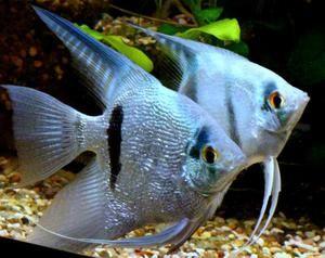 Аквариум риба на скалар. Нивното одржување и грижата за нив