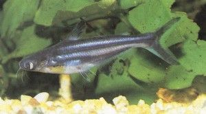 Пангасиус риба