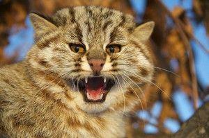 Амурова шумска мачка - карактеристика