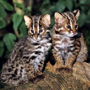 Симпатична мачка мачиња Tsushima
