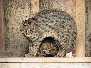 Мачка и маче Tsushima