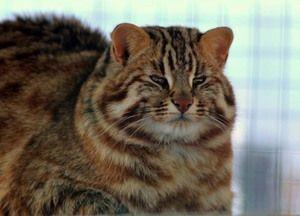 Возрасна целосна шумска мачка Амур