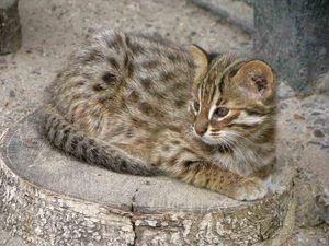 Амурова шумска мачка дома