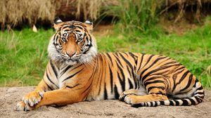 Амур тигар - огромна мачка од страниците на црвената книга