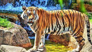 Амур тигар - посебни карактеристики