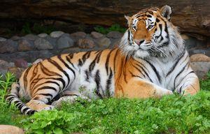 Амур тигар одмара