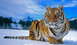 Сибирски тигар во зима