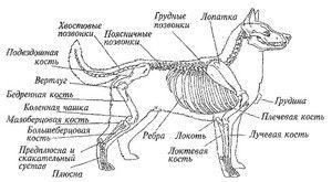 Анатомија на кучето: надворешната и внатрешната структура на телото