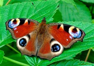 Пеперутката Паун очи: карактеристики и карактеристики