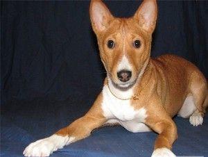 Basenji е раса на кучиња кои не лаат