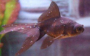 Болести на аквариум риба: сорти и третман
