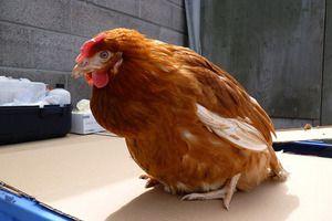 Болести на кокошки и аспекти на нивниот третман