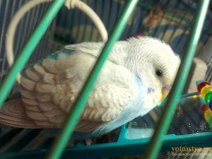 Болести на повлажните папагали и нивниот третман