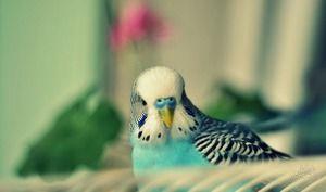Симптоми на брановидни папагали