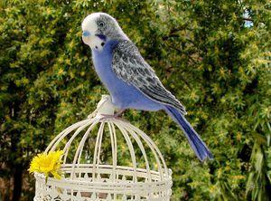 Колку живеат брановидни папагали во домот