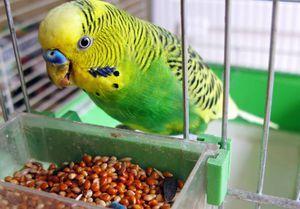 Болести на подвижни папагали