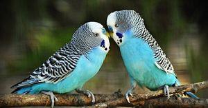 Хранење на брановидни папагали
