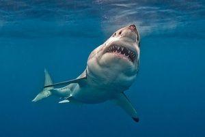 Карактеристики на голема бела ајкула