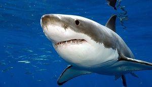 Опис на Големата бела ајкула Carharodon