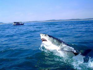 Живеалиштето на големи бели ајкули