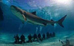 Тежина и должина на големи бели ајкули