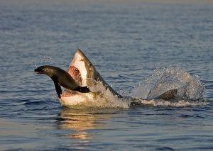 Исхраната и навиките за јадење на големи бели ајкули
