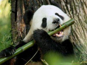 Каде живеат големата панда или бамбус?
