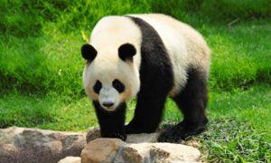 Како и другите претставници на мечка панди имаат масивна фигура