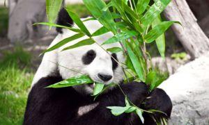 Главната исхрана на панда е бамбус, иако неговите предци биле месојади