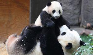 Голема панда се грижи за младенчиња до 18 месеци