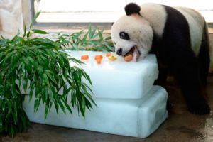 Панда јаде не само бамбус, диетата може да вклучува и разни видови на храна