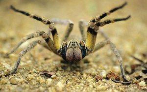 Бразилски скитник пајакот - изглед
