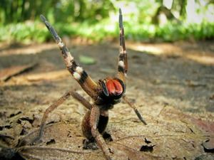 Агресивен бразилски пајак - смртоносен отровен