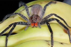На скитници бразилски пајак - како да се направи разлика