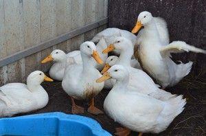 Бројлер патка: како да расте дома