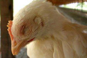 Бројлери киваат и кишам - отколку да третираат кокошки и возрасни кокошки