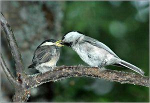 Корнеални ореви: храна, репродукција на чаби, појава на птица