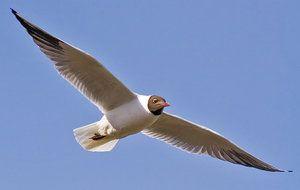 Галеб: дали е миграторна птица или не?