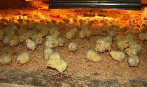 Како да се хранат кокошки: хранење дома