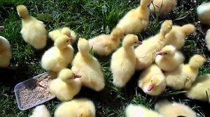 Што да се хранат goslings: правила за правење на диета дома