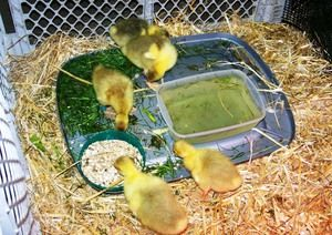 Препорачана храна за goslings од два до седум дена
