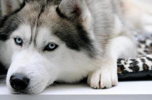Што да се хранат Husky - совети за правење диета дома