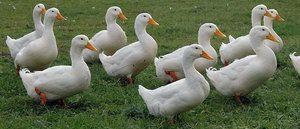 Потоа може да се хранат домашни или диви патки