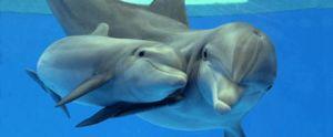 Црното Море bottlenose делфин карактеристика карактеристики на видот