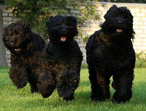 Црниот териер: познатиот руски куче